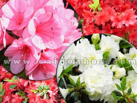 hoa do quyen chau nhua 5