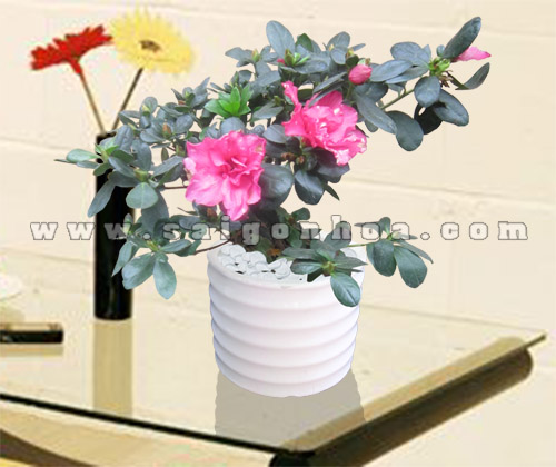 hoa do quyen chau su