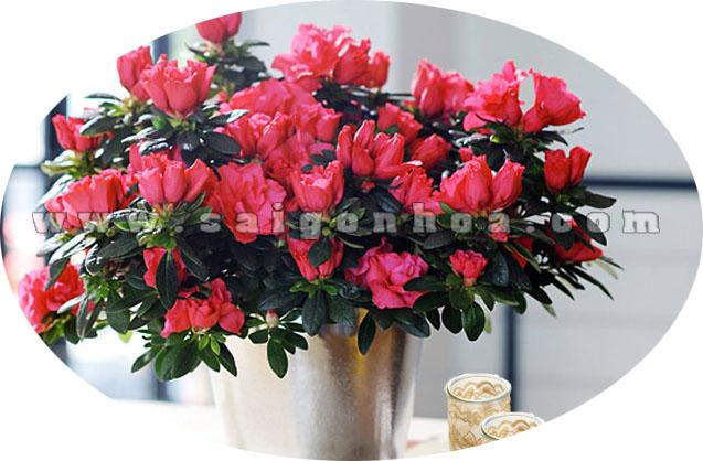 hoa do quyen do 2
