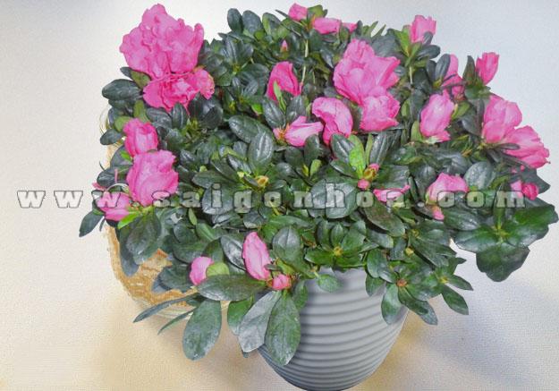 hoa do quyen hong 10
