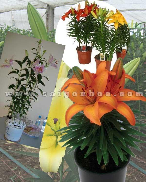 hoa lily chau nhua 2