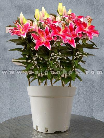 hoa lily chau nhua 3
