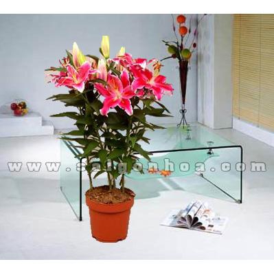 hoa lily chau nhua 4