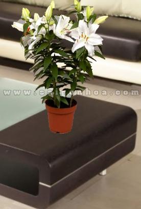 hoa lily chau nhua 5