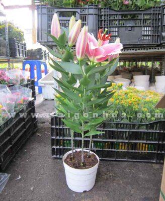 Hoa Lily Chau Nhua Dai Dien