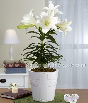 hoa lily chau su 1