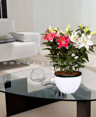 Hoa Lily Chau Su 2