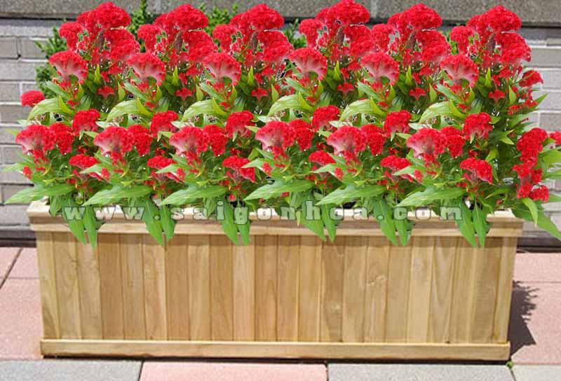 hoa mao ga trong bon 1