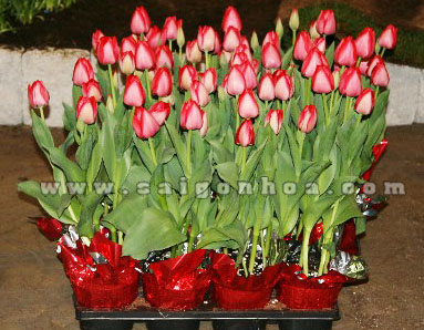 hoa tulip chau nhua