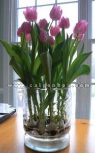 hoa tulip co cu 3