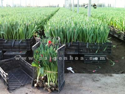 hoa tulip co cu 5