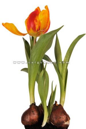 hoa tulip co cu 7
