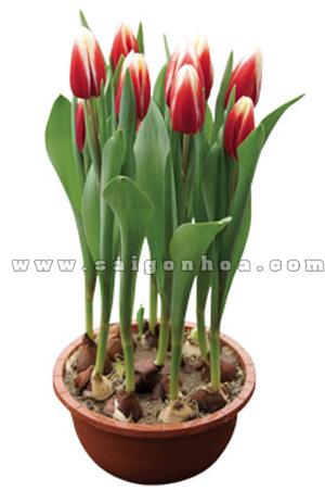 hoa tulip co cu