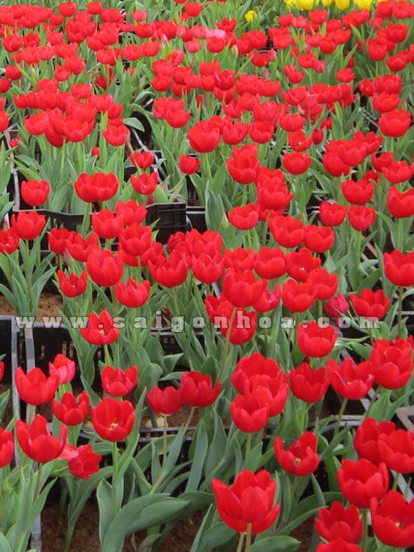 hoa tulip mau do trong chau nhua