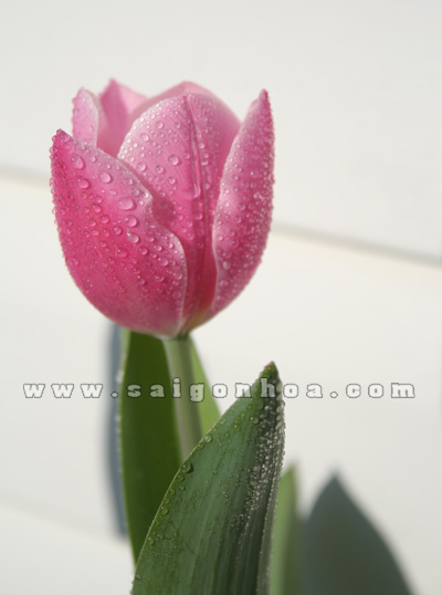 hoa tulip mau hong 14