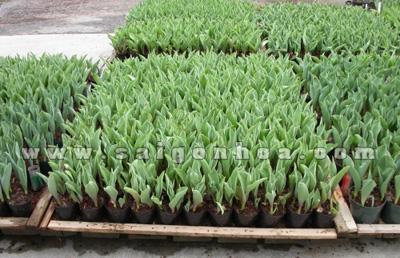 hoa tulip trong vuon