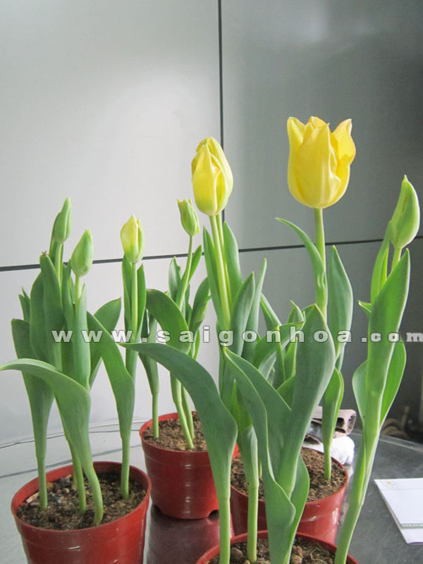 hoa-tulip-vang