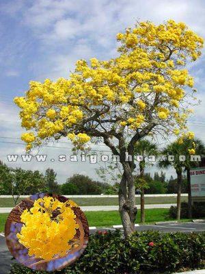 Cay Hoa Chuong Vang