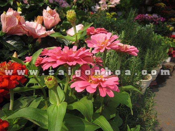hoa cuc nham nua kep 1