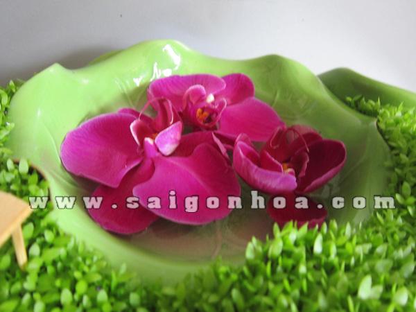 hoa lan ho diep tim trong tieu canh