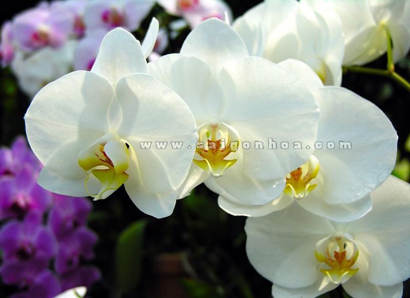 Hoa Lan Ho Diep Trang 3