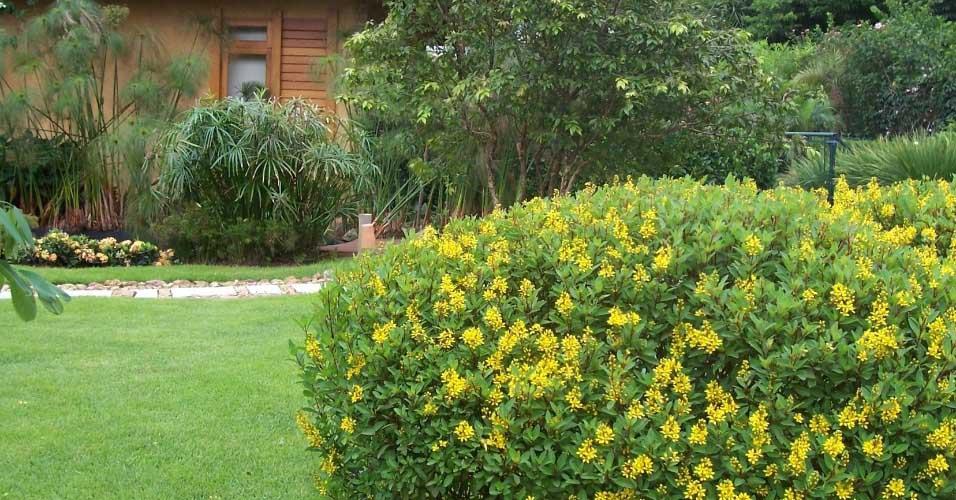 Kim Đồng Vàng Trồng Khóm Cho Sân Vườn