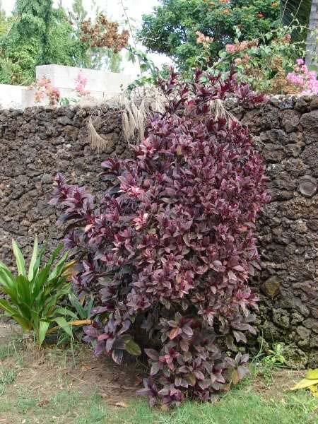 Pseuderanthemum carruthersii var. atropurpureum