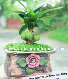 Cay May Man Tai Loc Hoa Hong 1
