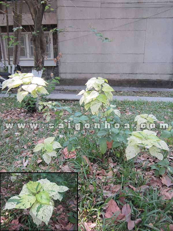 cay phoi bo Macrophylla