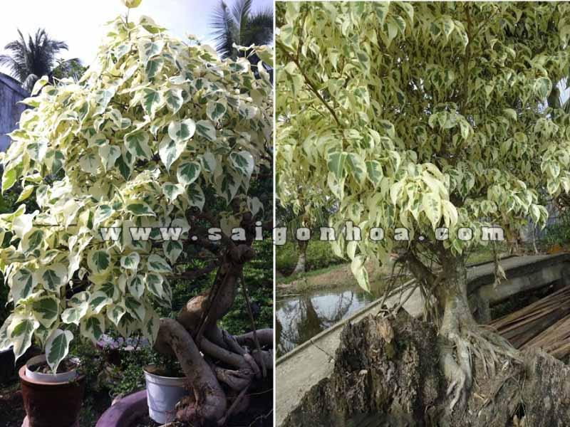 cay sanh bonsai lon