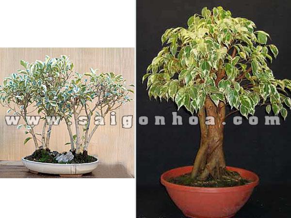 cay sanh cam thach bonsai