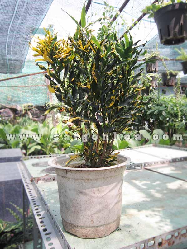 chau cay la dum Codiaeum variegatum 'Banana'