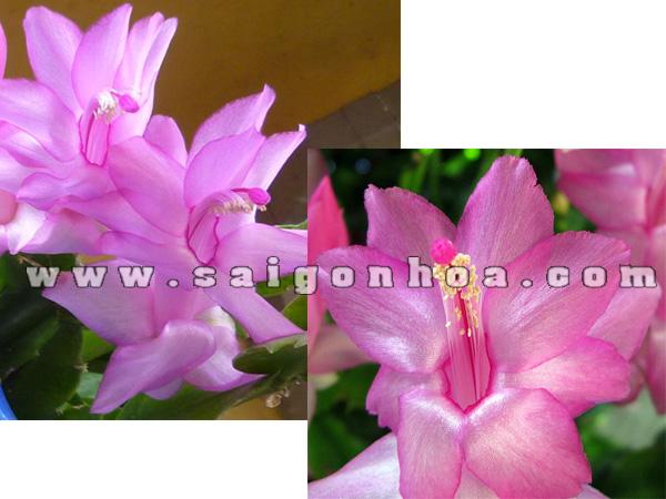 hoa cang cua hong
