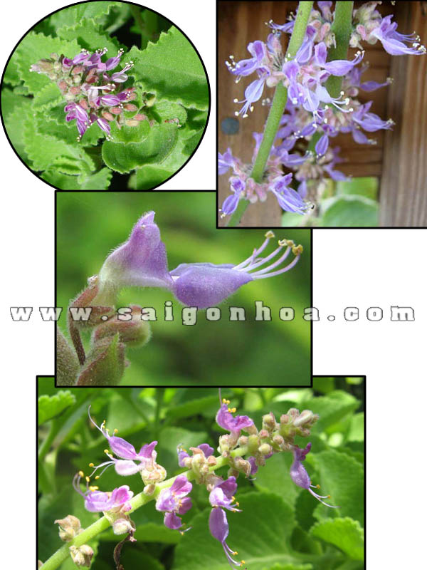 hoa cay hung chanh