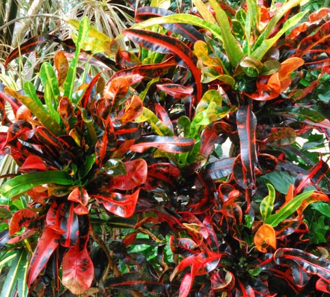 la cay la dum Codiaeum variegatum 'Mammy'