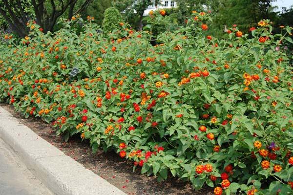 Cây Trâm Ổi Tạo Khóm Sân Vườn