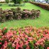 Địa chỉ cung cấp cây trang thái uy tín chất lượng toàn quốc