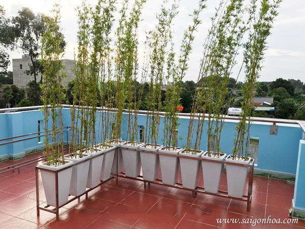 Cây trúc quân tử trồng hàng rào