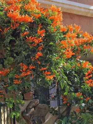 Những loài cây dây leo nhiệt đới phù hợp với khí hậu Việt Nam