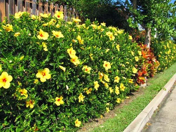 Top 8 loài cây trồng viền thông dụng hiện nay