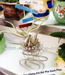 Cay Khong Khi Dai Phu 1