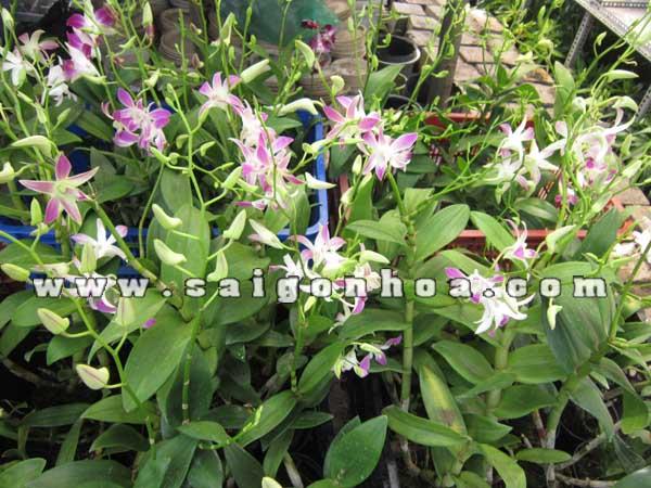 hoa lan dendrobium ghep goc
