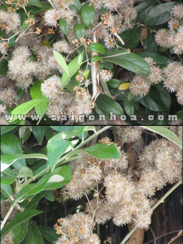 Hoa Cúc Tần Ấn Độ
