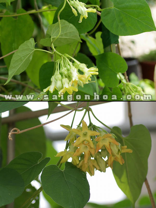 Hoa Thien Ly