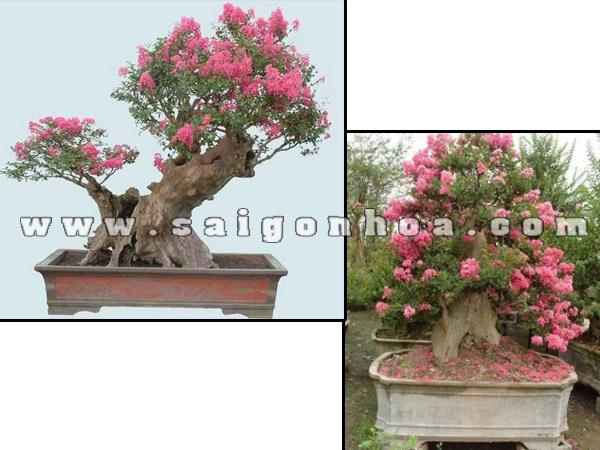 cay hoa tuong vi bonsai