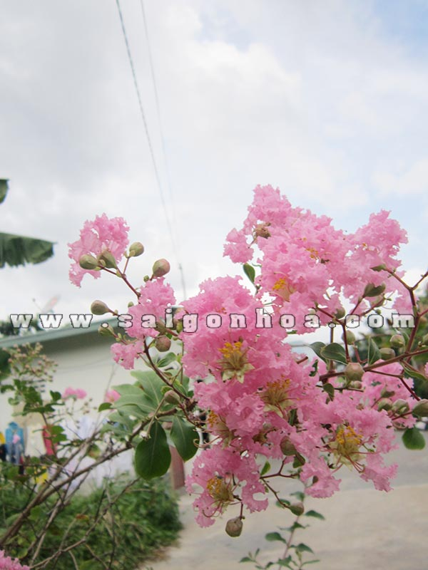cum hoa tuong vi hong