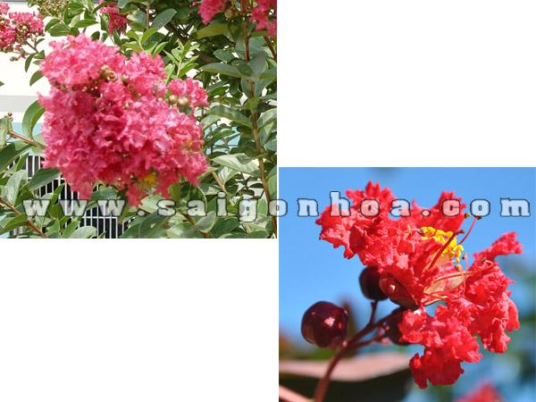 hoa tuong vi do