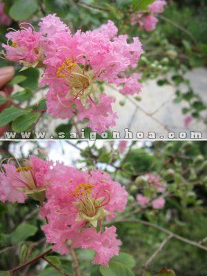 hoa tuong vi hong