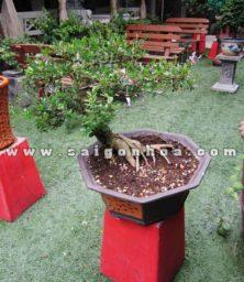 Bonsai Cay Linh Sam