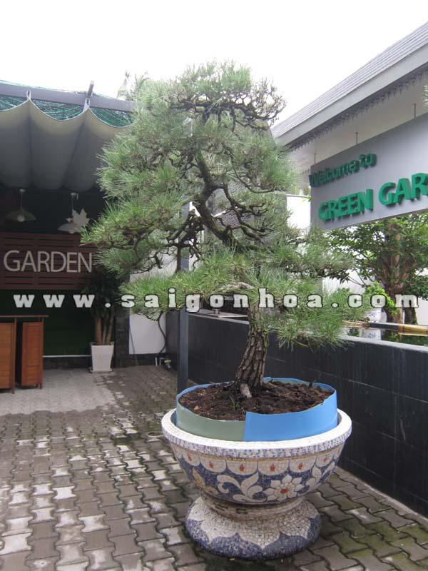 chau cay phi lao bonsai trang tri cafe